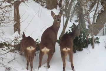 Vinterfodring af råvildt
