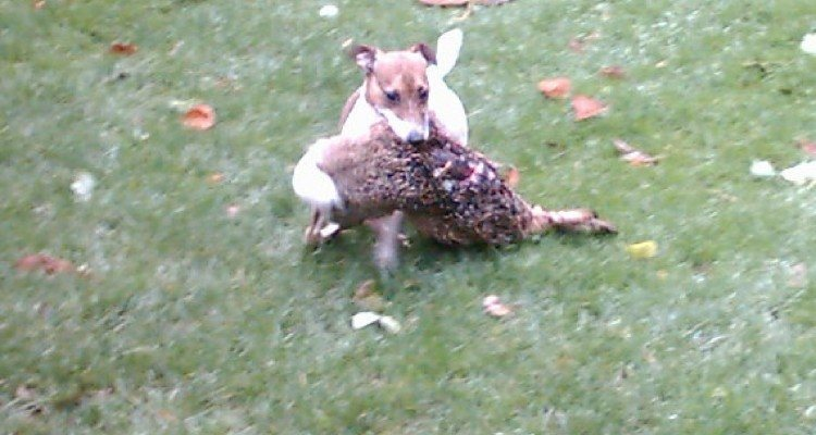 Jack Russel apportere hare
