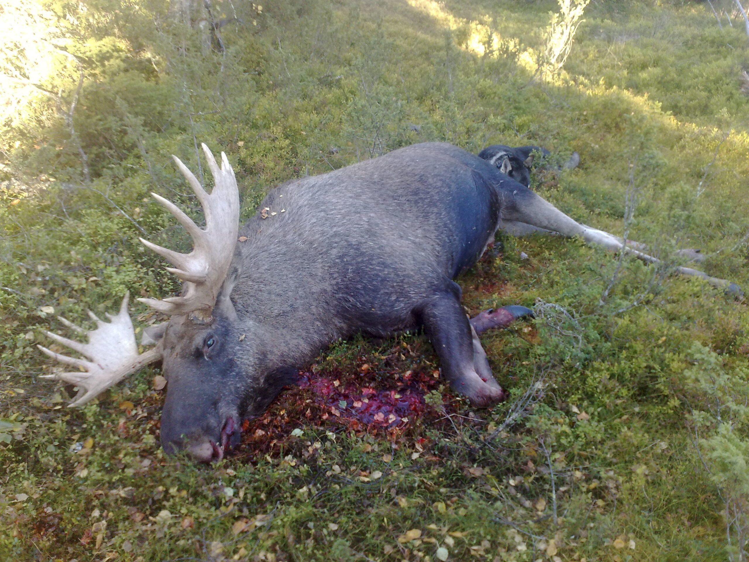 Moose hunting