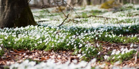 Anemone foto L.E Daniel Larsson