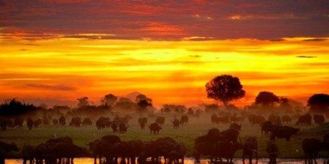 Bøffeljagt Afrika Zimbabwe solnedgang