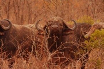 Bøffeljagt i Afrika