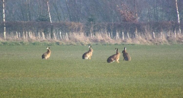 Hare markvildtlav foto Keith Laverack
