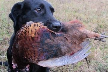 Labrador med apporteret fasankok