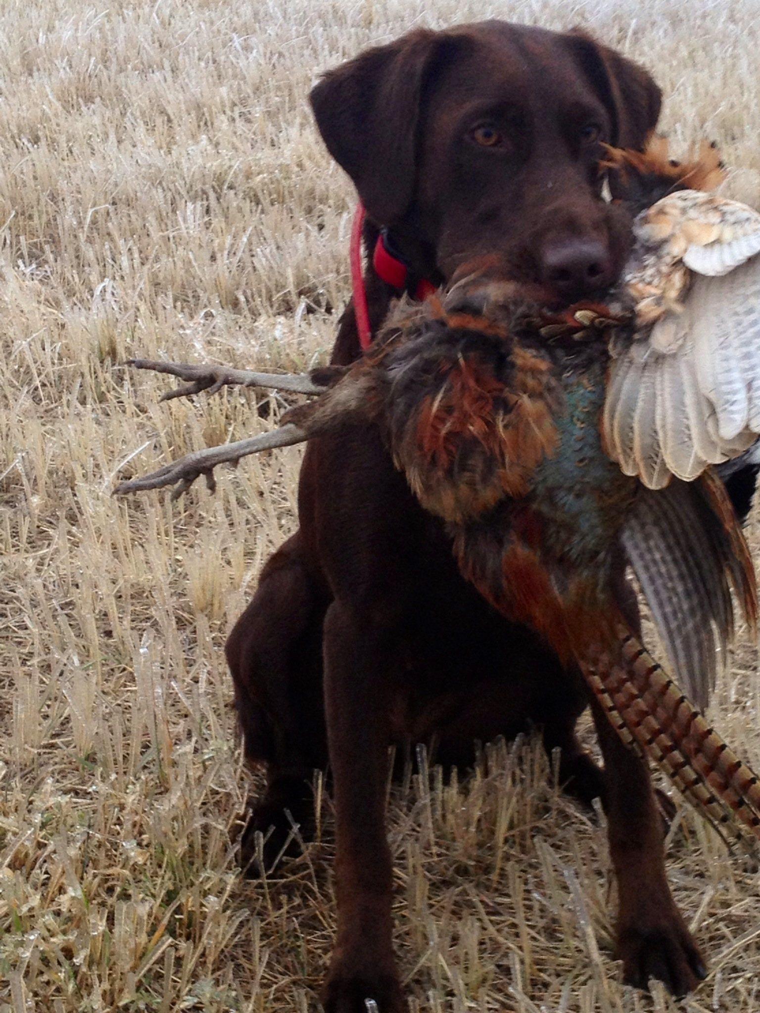 Labrador på jagt