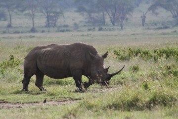 Næsehorn foto shankar s.
