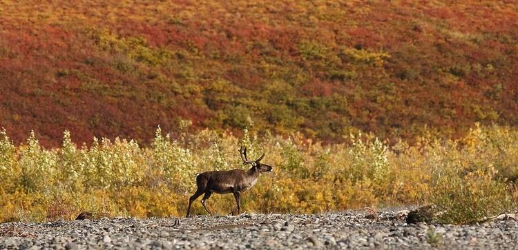 Rensdyr Grønland Foto Western Arctic National Parklands
