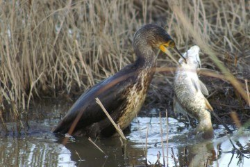 Skarv (phalacrocorax carbo)