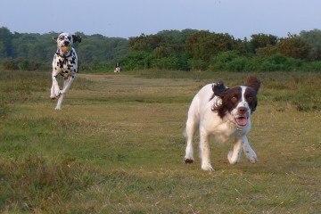 Strejfende hunde Foto Benjgibbs