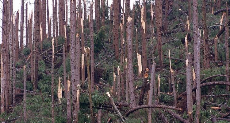 Væltede nåletræer