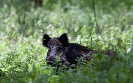 Vildsvin i skoven