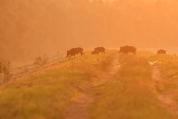 Vildsvin i Danmark