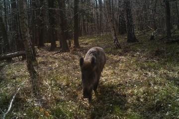 Fritlevende vildsvin på Sjælland