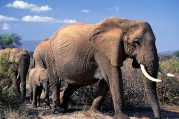 afrikansk elefant