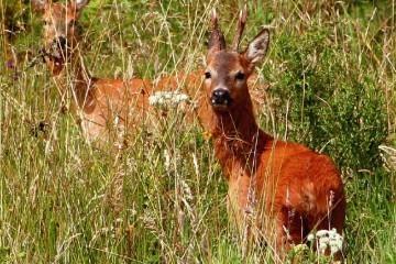 bukkejagt Jagtbart vildt i maj, juni og juli måned