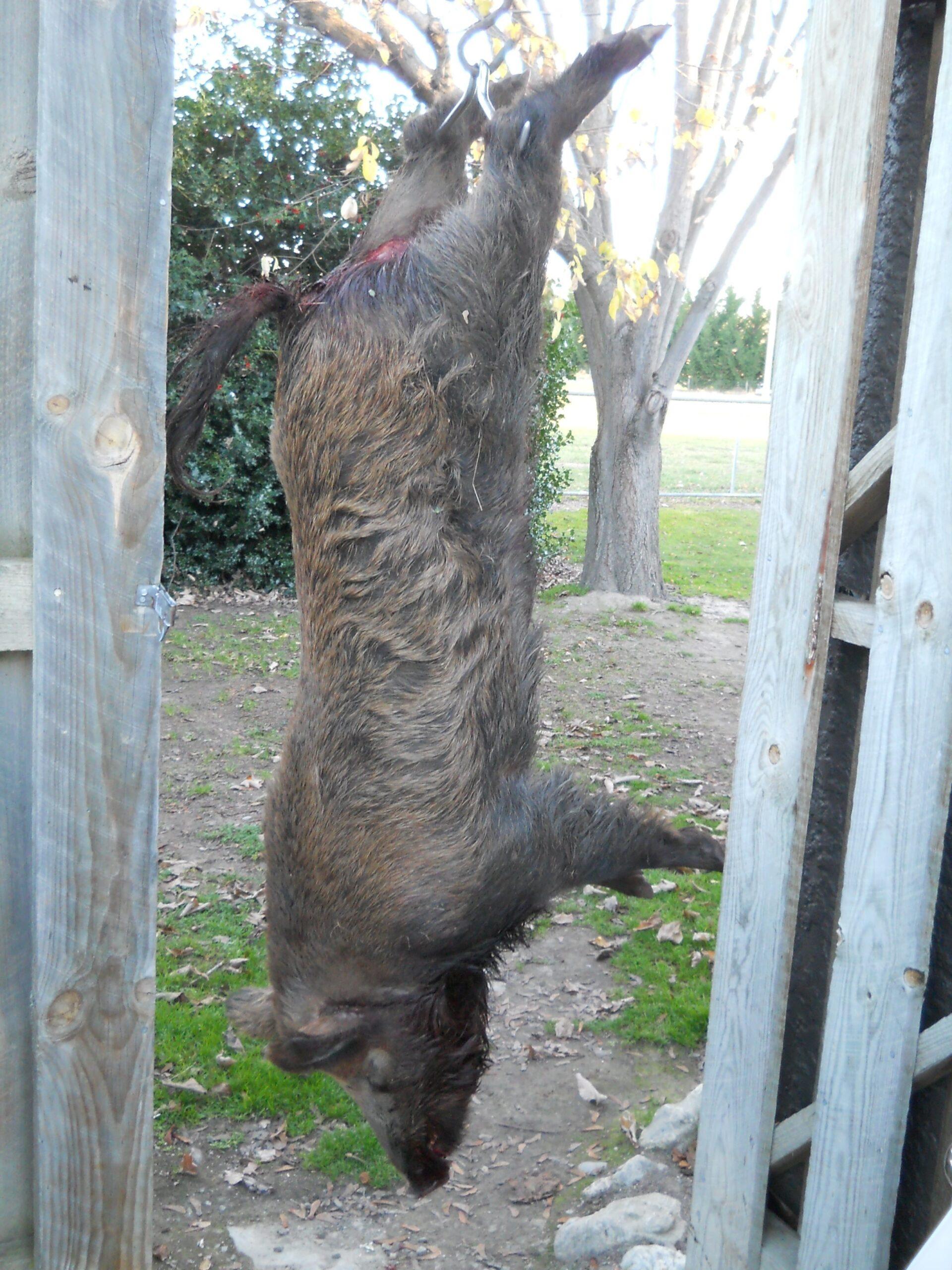 Grise Jagt med masser af grise