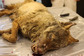 Første ulv i 200 år