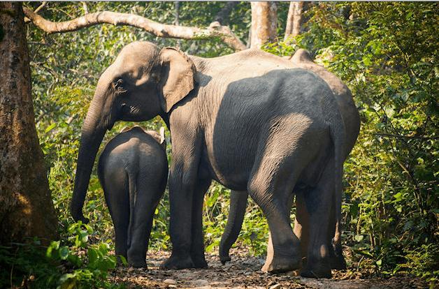 Elefanter - Mor og unge