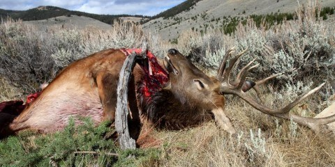First elk down
