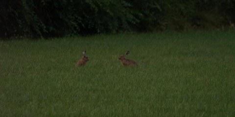 Harer i marken.