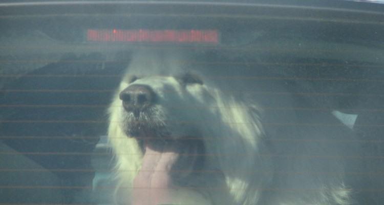 Hund i varm bil. Foto eduardo