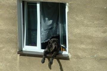 hund i vindue