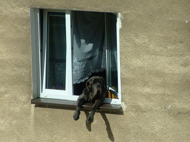hund i vindue foto tripleigrek