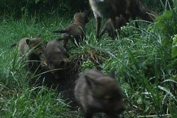 rævefamilie