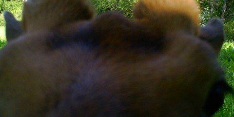 Nærbillede af dåhjort