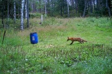 forsigtig ræv vildtkamera