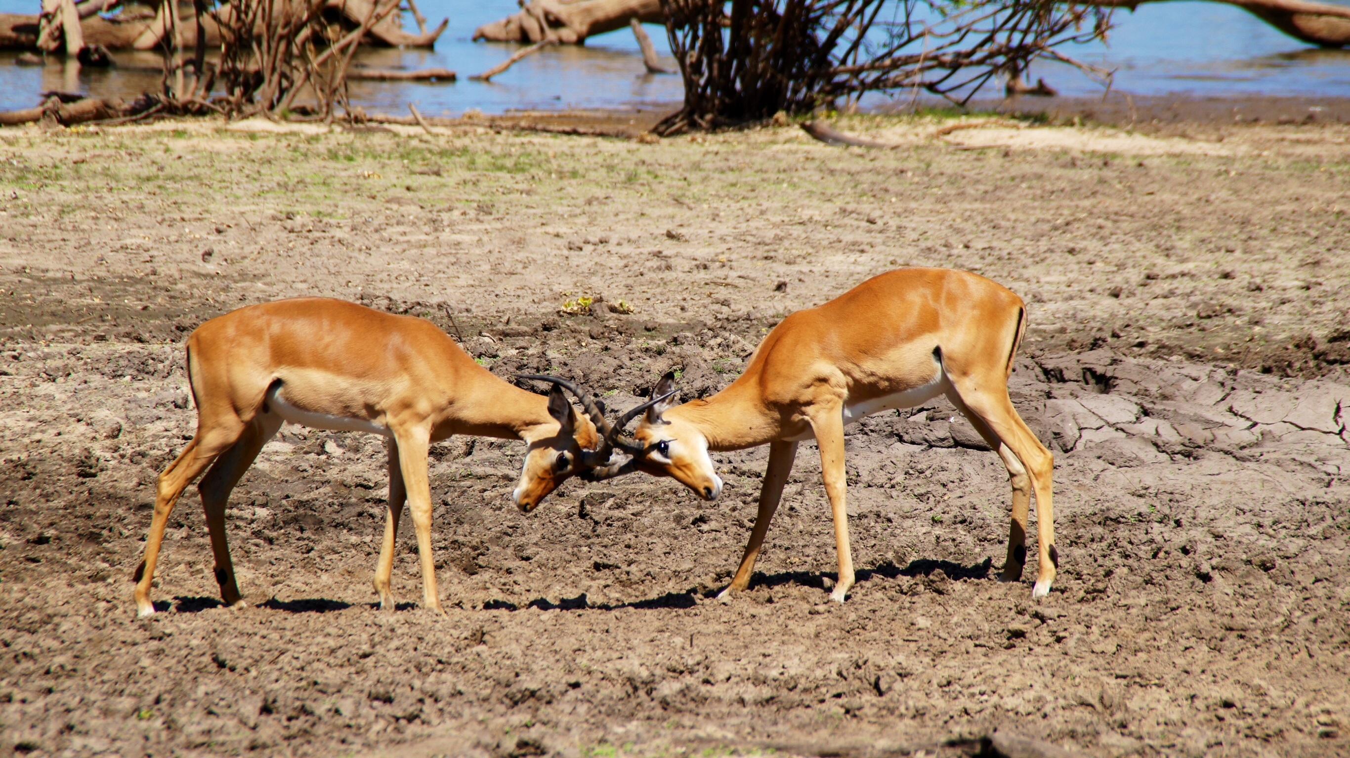 Kamp på savannen
