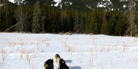 img_2719_elk_bulls_seen_from_dog_sled