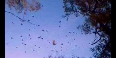 Krager og sorte fugle slår på lokkeugle