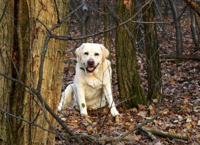 labrador i skoven