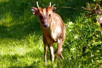 muntjac foto Peter O'Connor