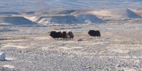 Moskusokser i Østgrønland