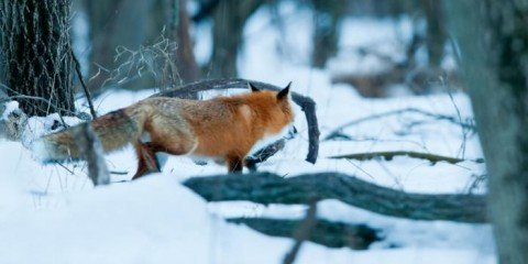 Ræv i sneen