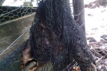 råvildt fanget i fasanopdræt net