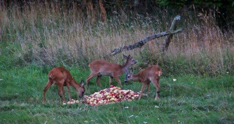 En stor bunke æbler er noget råvildtet elsker.