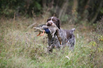 Den ruhårede hønsehund hører til de stående jagthunderacer og er en god all-around hund.