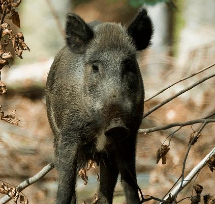 Tysk vildsvin