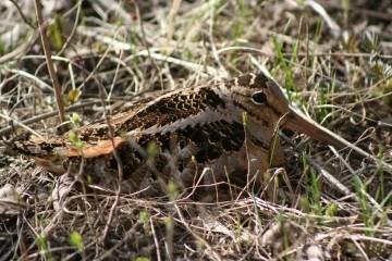 Skovsneppe (Scolopax rusticola)