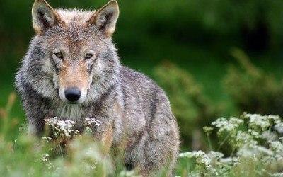 ulve_i_danmark_foto_robert_dewar_0
