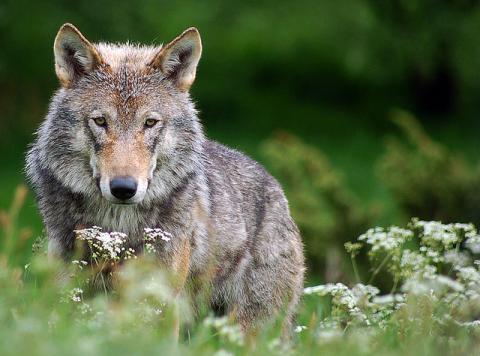 ulve i danmark foto robert dewar