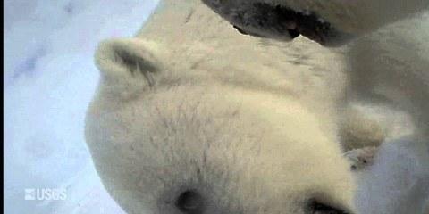 Video – Isbjørn i arktisk med et kamera om halsen