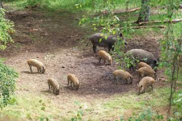 vildsvine familie foto janet morrell