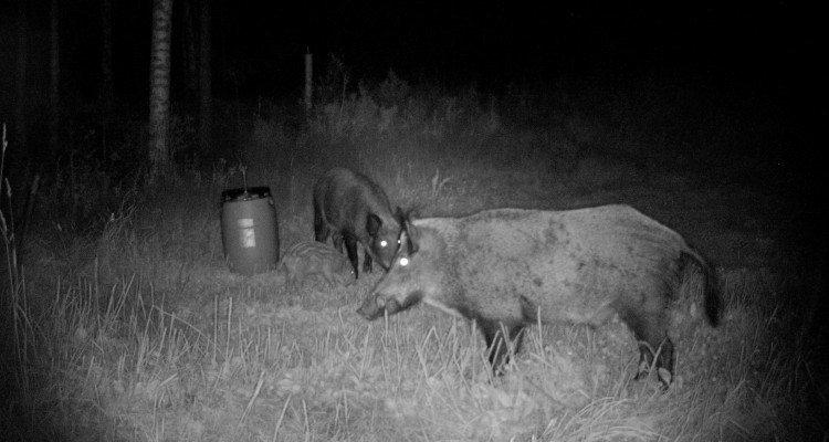 Vildsvin på foderpladsen