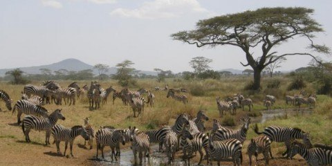 zebra sydarfika